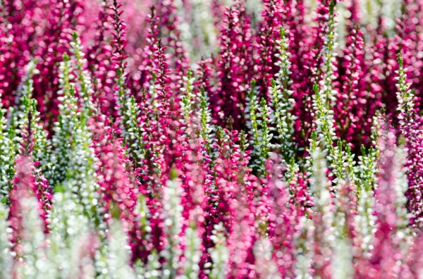 White and pink flowering heather