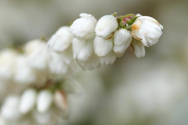 White-Heather-1