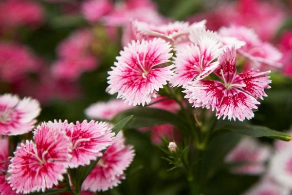 Dianthus-Pink-White