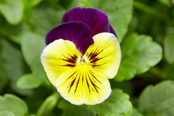 Viola-Pansy-Yellow