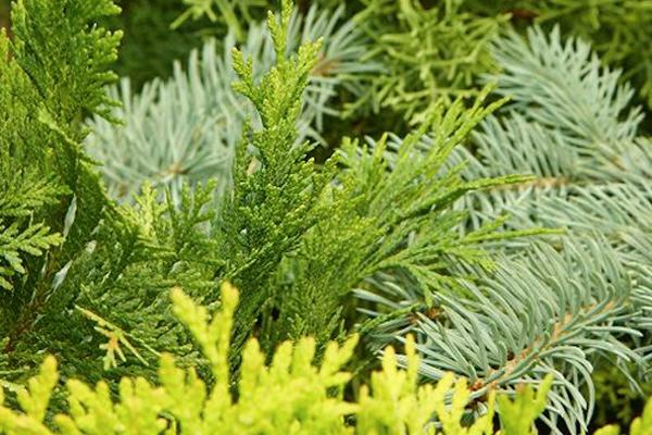 Conifers 2