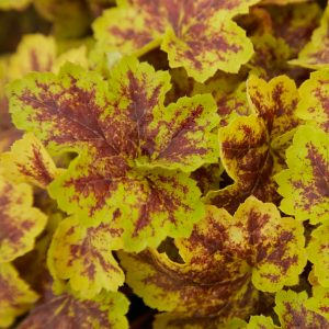 Heucherella Solar Power