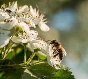 Bee-&-Hawthorn
