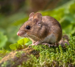 Wood-Mouse