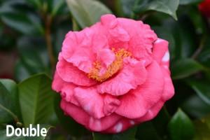 Double-Camellia