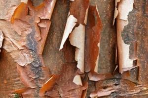 Maple Bark 3