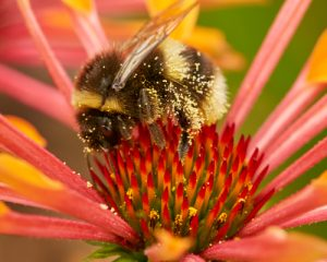 Bee-on-Echinacea-500x400