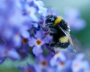 Bee-on-Veronica