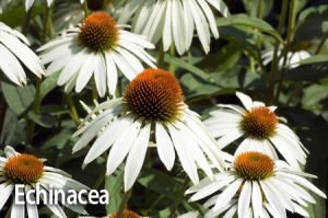 White-Echinacea