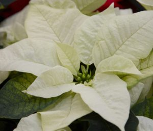poinsettia-white